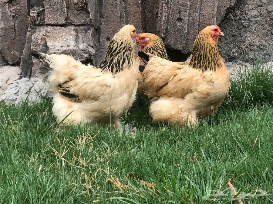 دجاج براهما اصول خوارج تم البيع