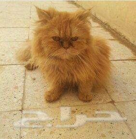 قط هاف بيكي
