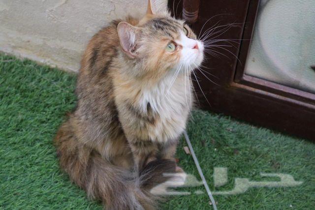 قطط شيرازي بيور تربية منزل صغيرة عمر شهرين لل