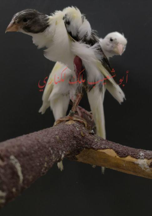 جوز كناري اتالوكس أبيض مفتل يستاهل تربية
