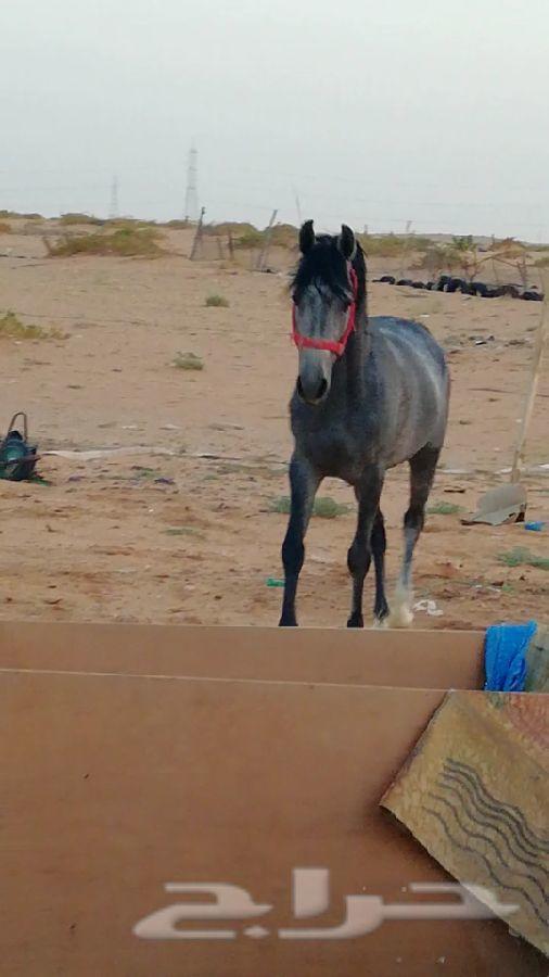 للبيع حصان شعبي جميل العمر 4 سنوات