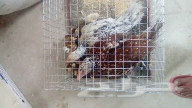 فروخ دجاج باكستاني تحضين و ليس فقاسة