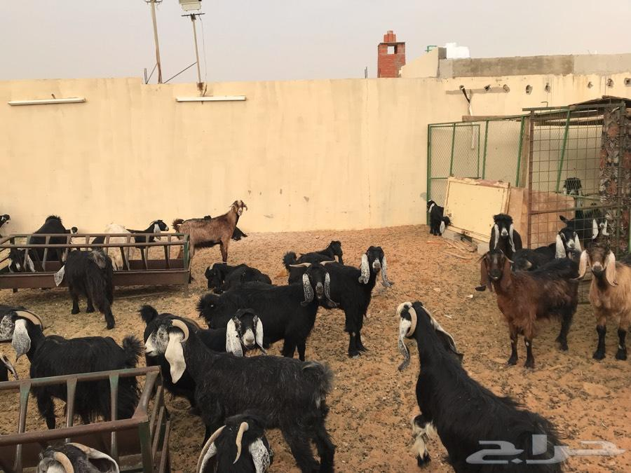 معزا عوارض مراح