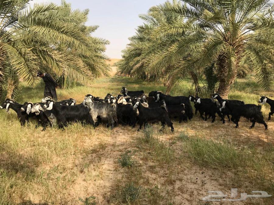معزاء عوارض منوت القاني