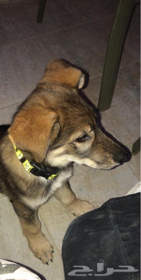 كلب جيرمن شيبرد العمر شهرين