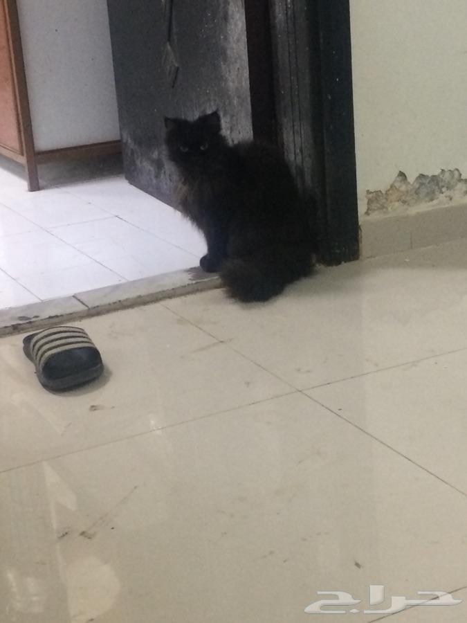 قطط شيرازيه