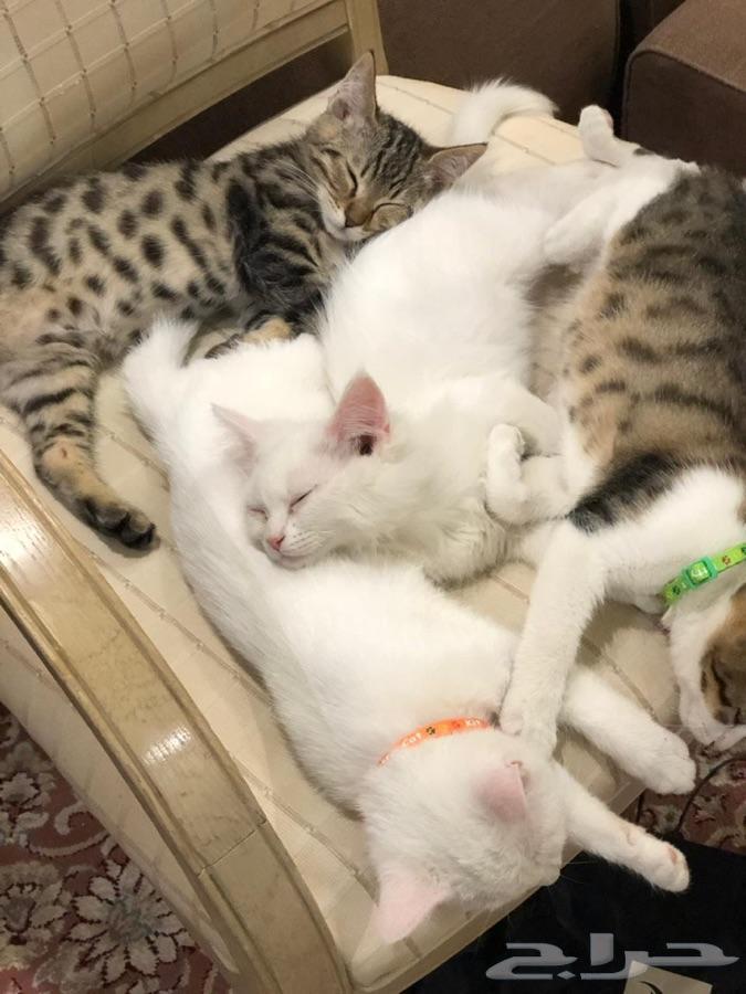 قطط شيرازية لعوبة