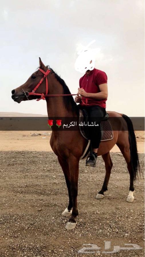 حصان واهو شيخ ابن الفحل مستر ايميج