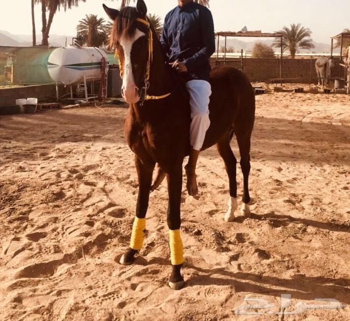 نجران - حصان  شعبي كفو