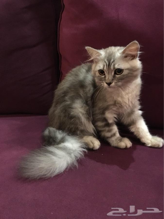 جدة -   قطة شيرازي