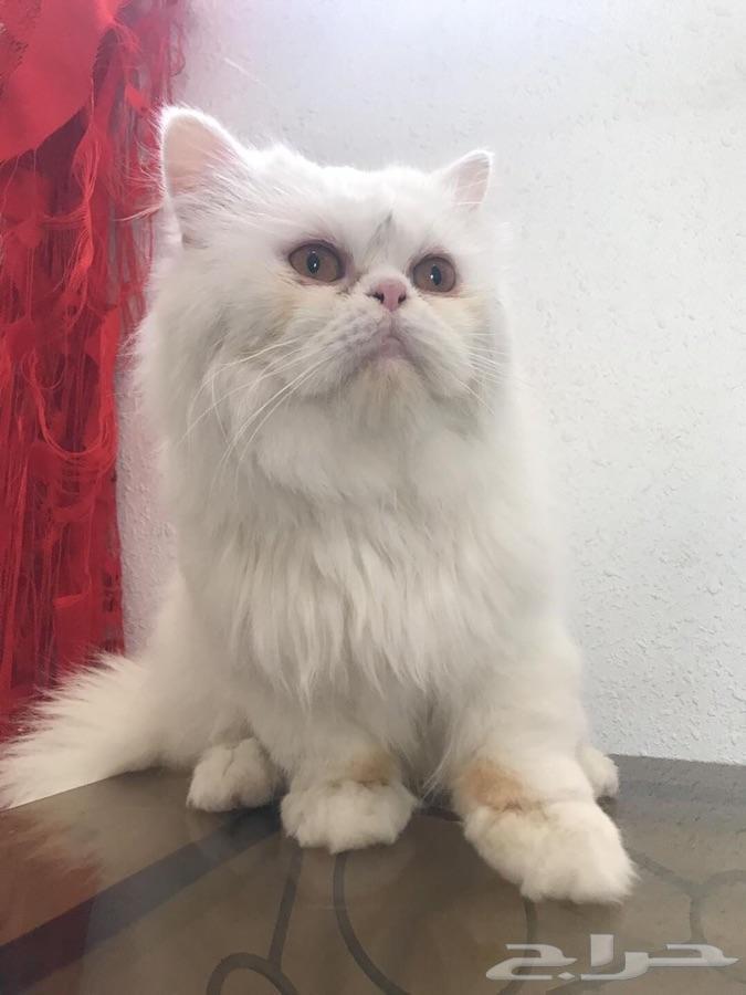 79c56286119fd للبيع زوج قطط الذكر هملايا بيكي فيس