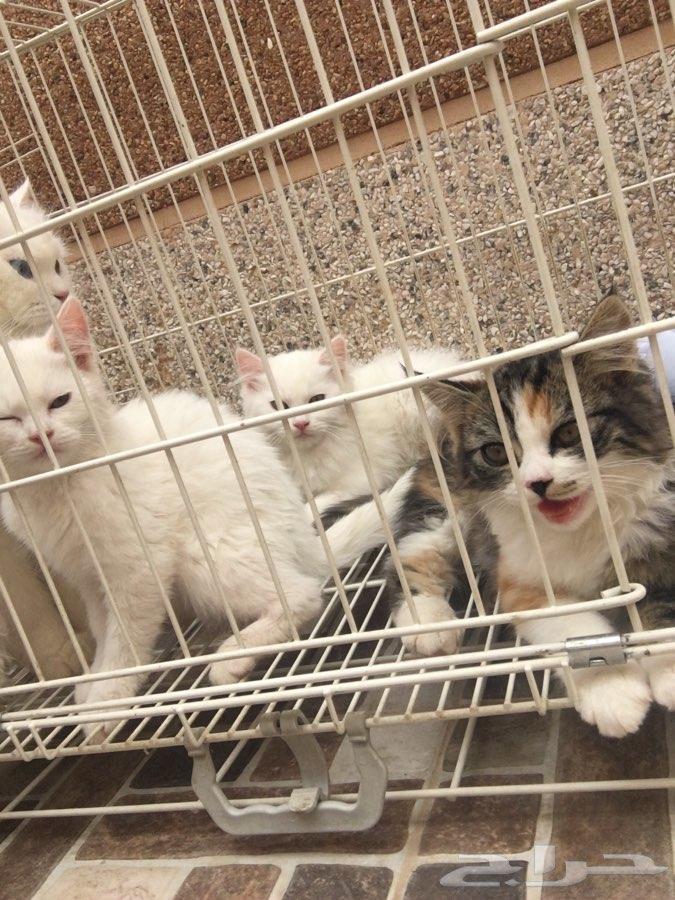 قط شيرازي كبير مع عياله الثلاث