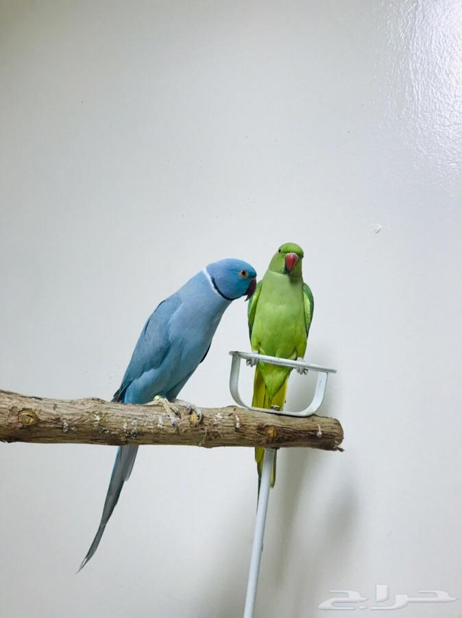 زوج دره منتج الذكر هولندي اقبل البدل