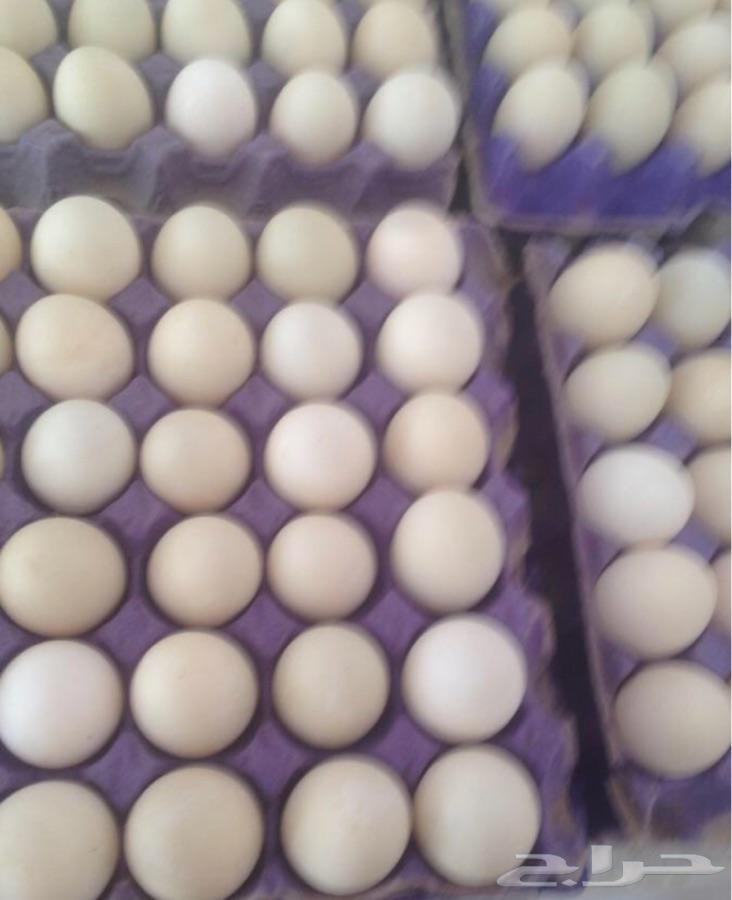 بيض بط بكيني