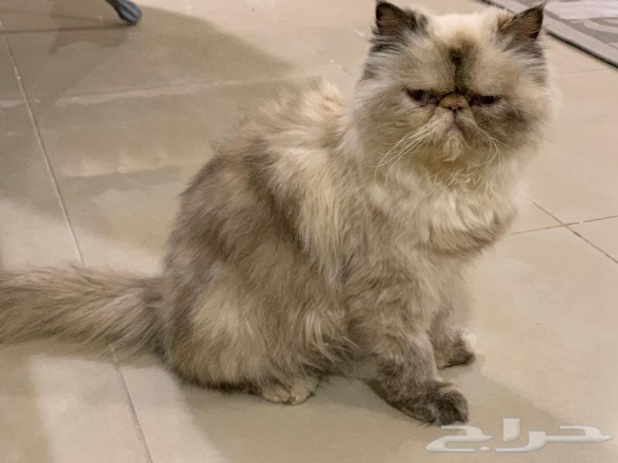 قطه ضايعه هملايا بيكي فيس في حي اليرموك