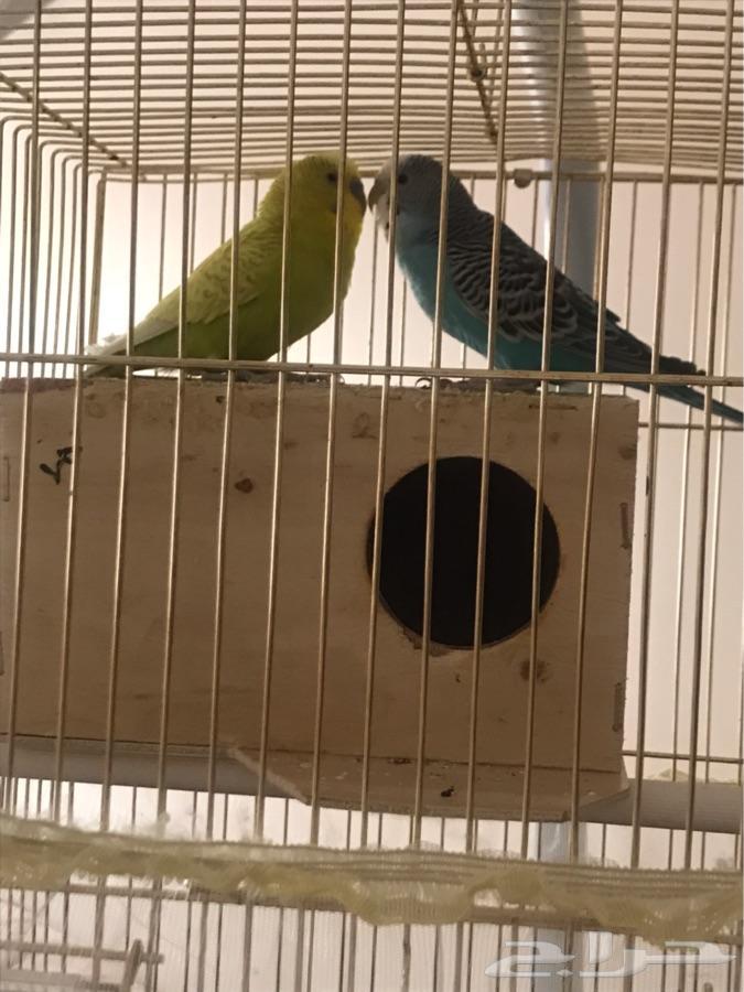 أجمل طيور حب  gt  gt سبب البيع السفر