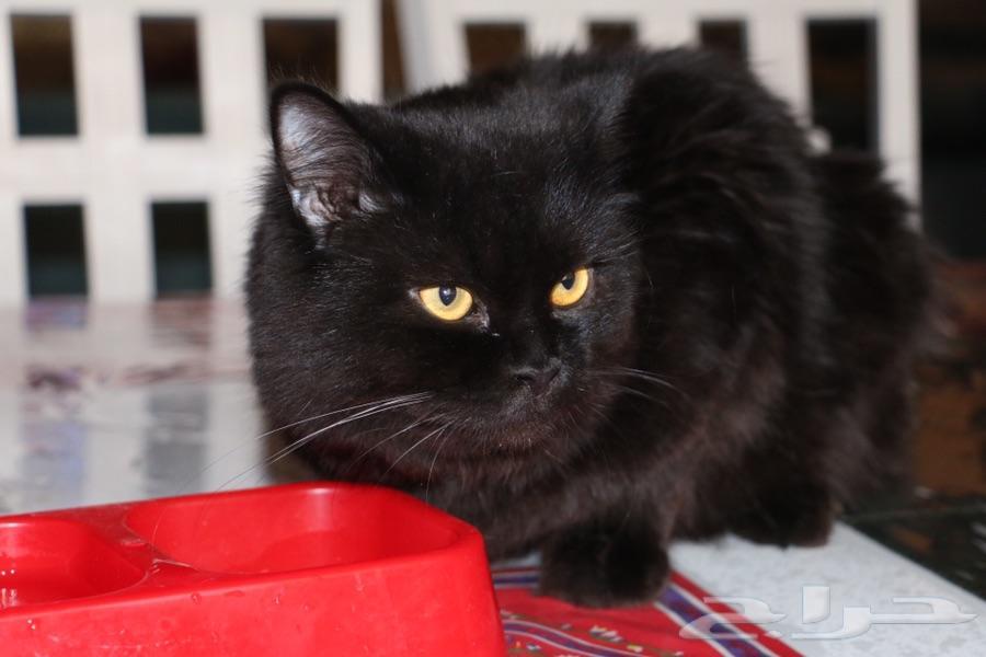 قط شيرازي للتزاوج او البيع