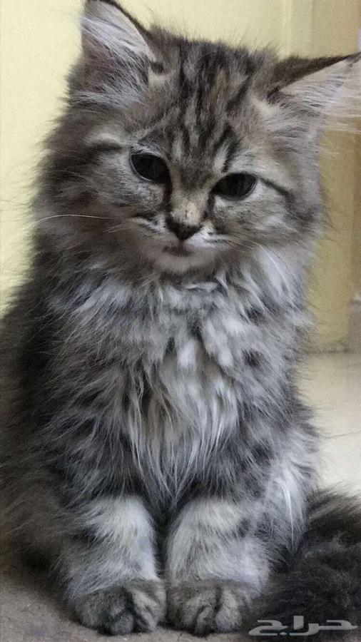 قطة شيرازية رمادية