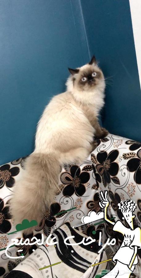 للبيع قطه هملايا جميله البيع مستعجل