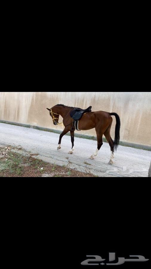 حصان ينافس الواهو
