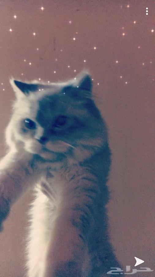 قط هملاية شيرازي