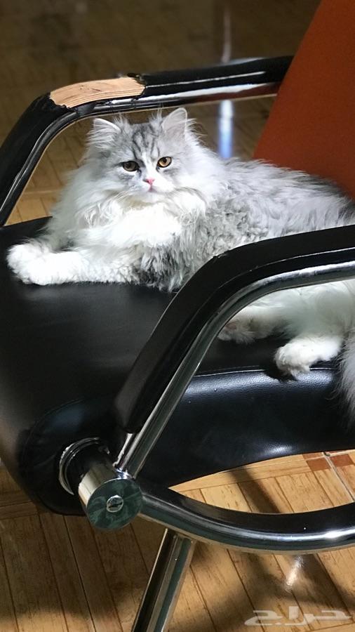 قط بيكي فيس شيرازي للبيع