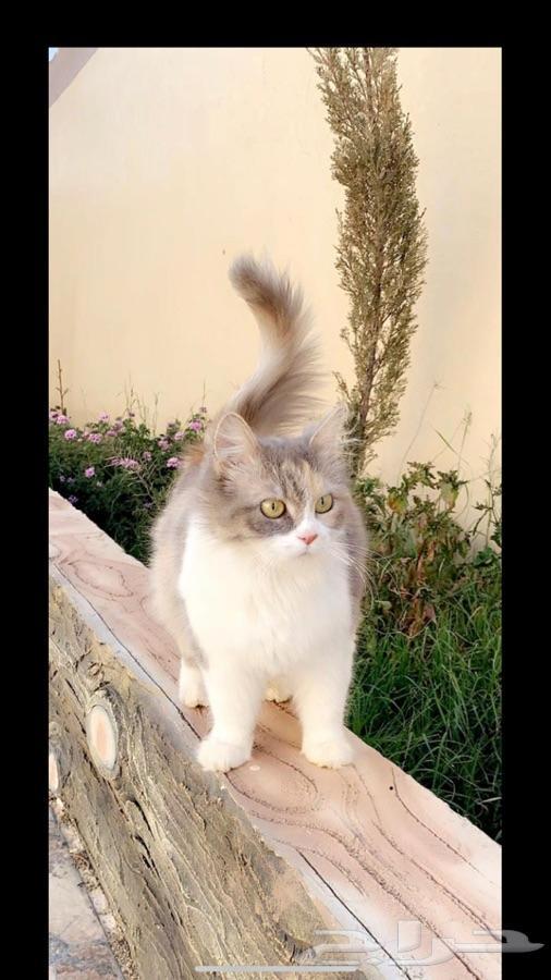 قطط - قطه شيرازي  وثلاث من