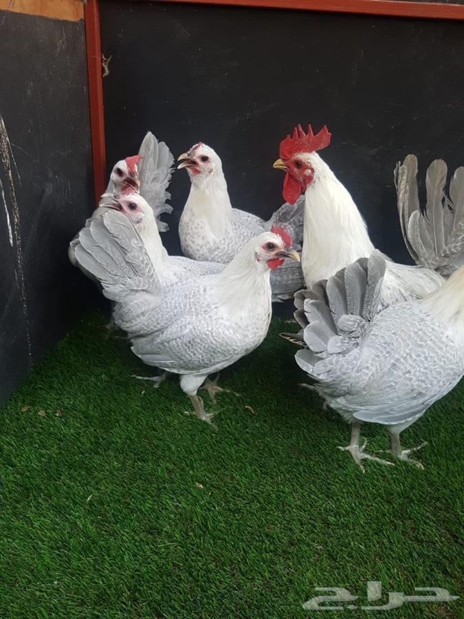 دجاج فيومي المنيوم سلاله نقيه