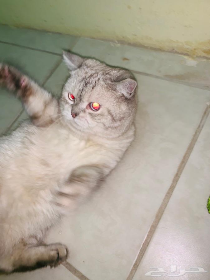 قط شيرازي للتزاوج فقط