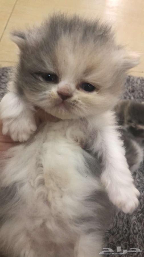 قطط هاف بيكي صغيره