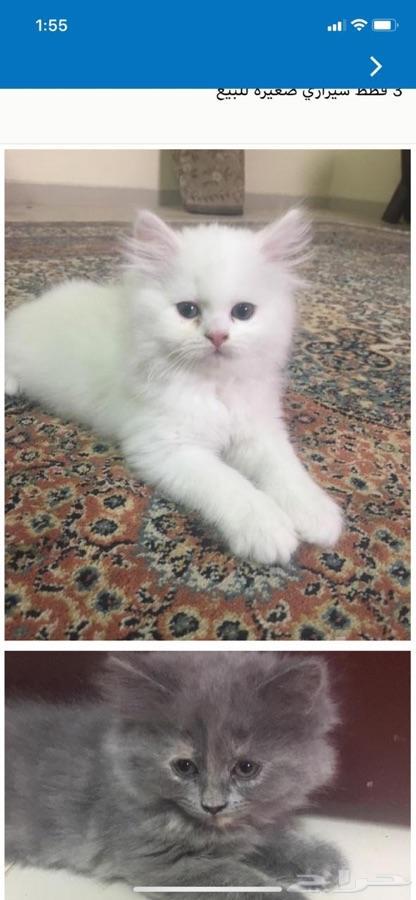 قط شيرازي صغير للبيع