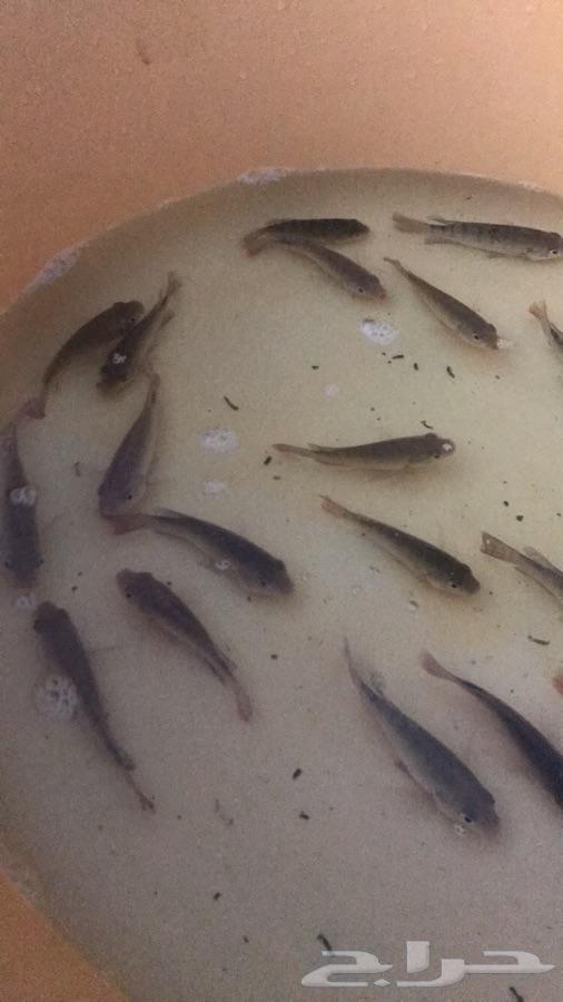 اصبعيات سمك بلطي استزراع