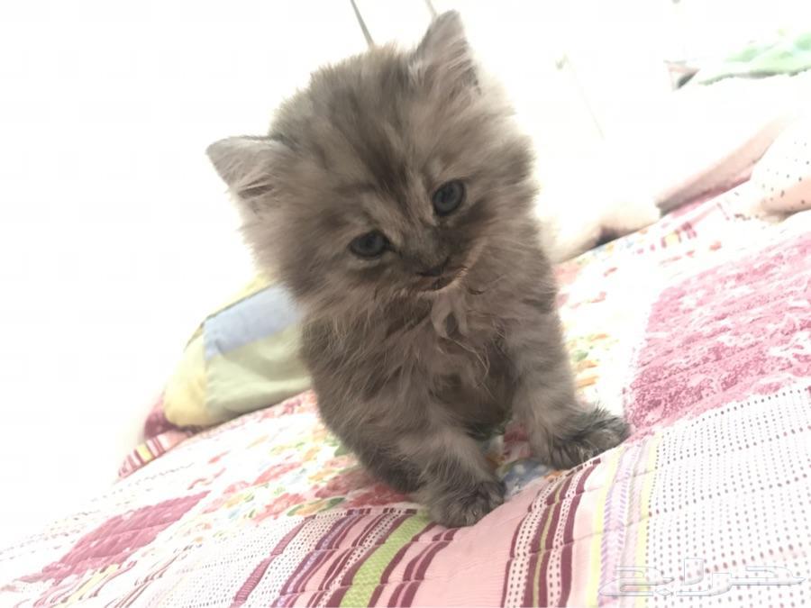 ينبع - قطة عمرها ثلاث شهور