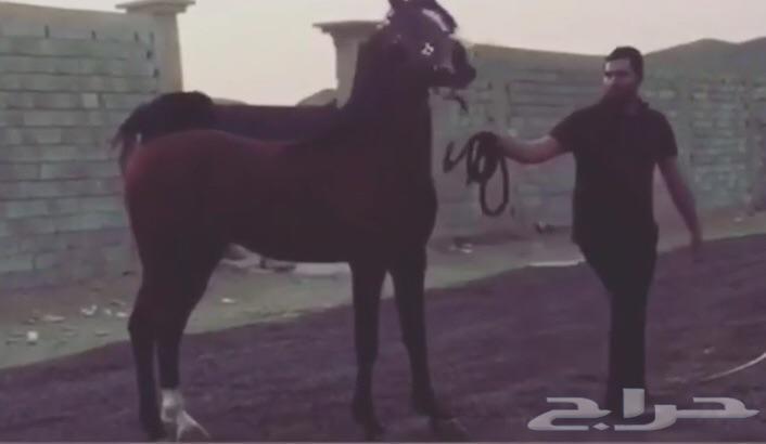 حصان شعبي ينافس الواهو