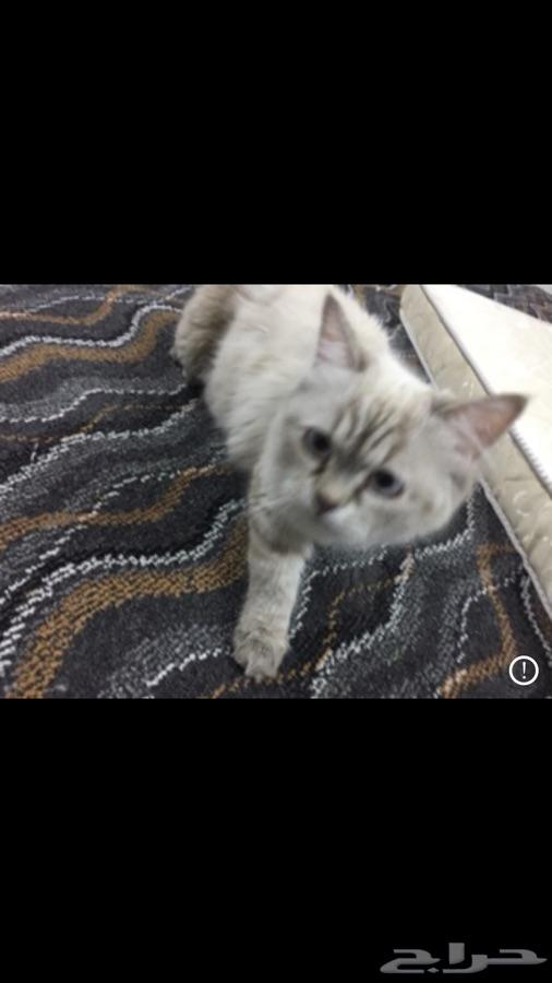 قطة شيرازي هيملايا