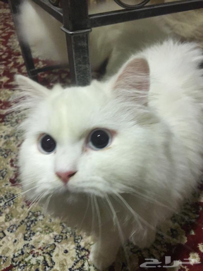 قطط شيرازية فصيلة نادرة للبيع