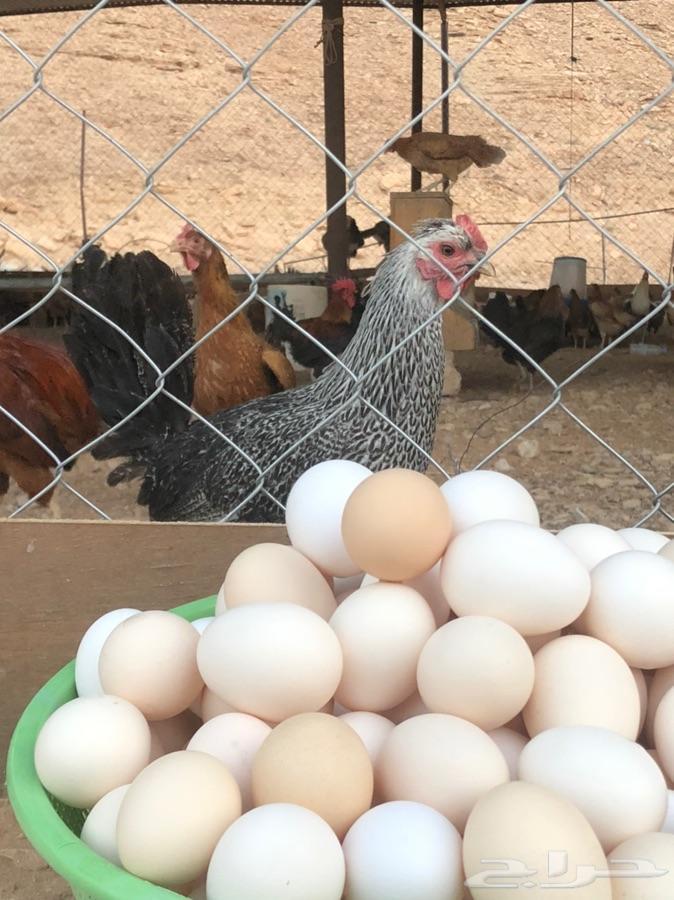 بيض بلدي طازج ( للاكل )