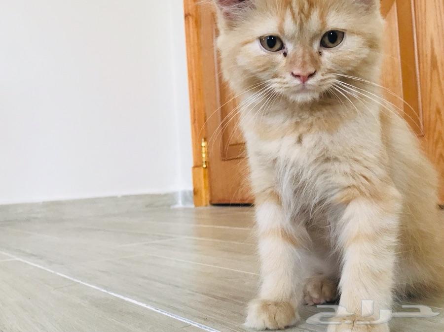 قطه هاف بيكي