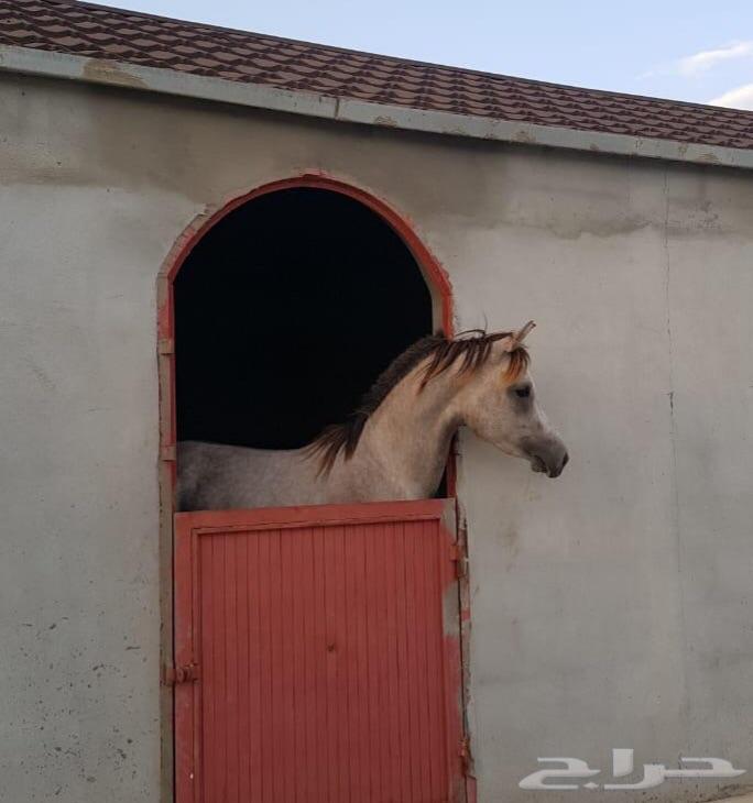 حصان شيخ ورق