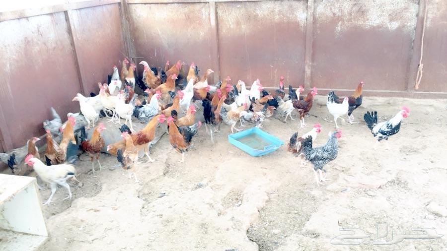 ابها اعرض لكم دجاج بلدي