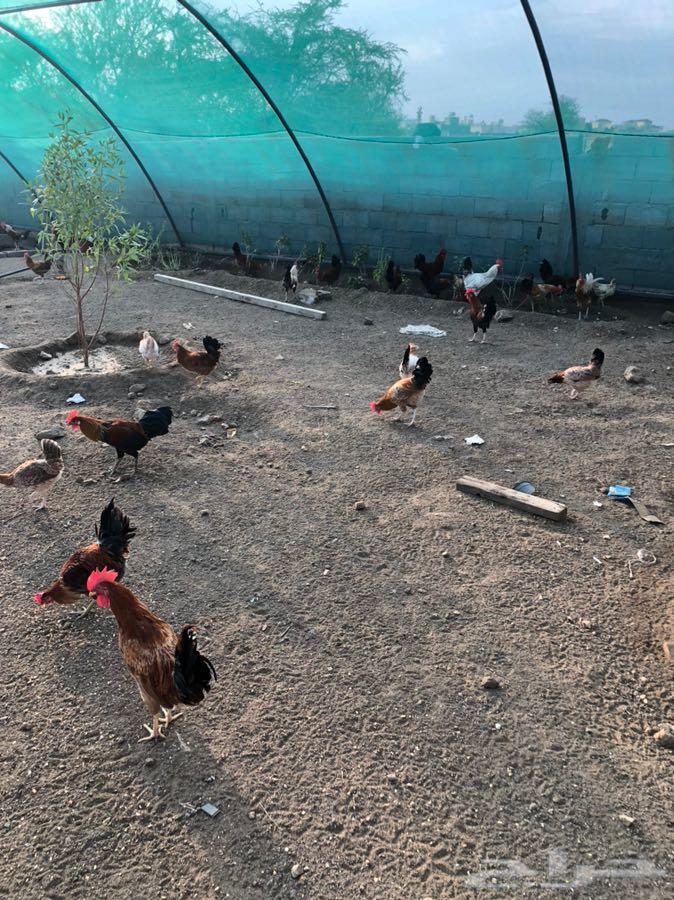 ابها دجاج ذكور العدد