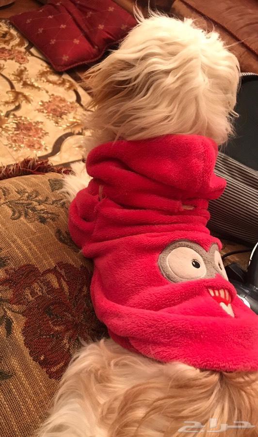 كلب - كلب مالتيز  انثى