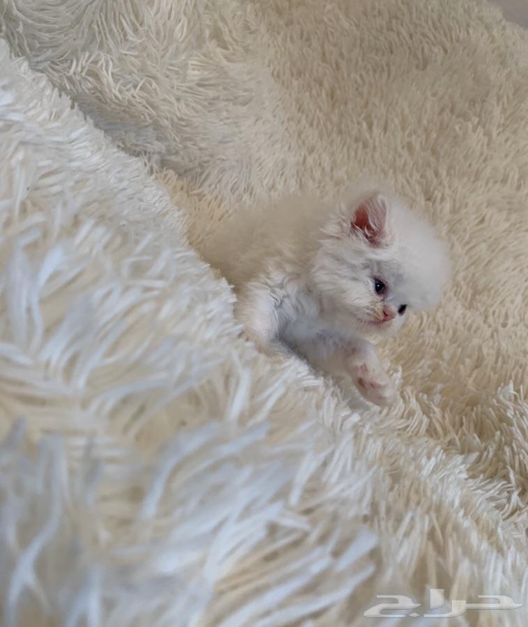 قطط - قطه