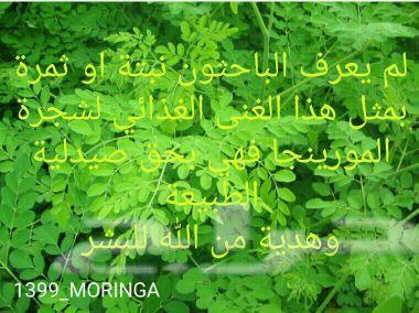 ورق مورينجا مجفف يعالج ثلاث مئة مرض بأمر الله