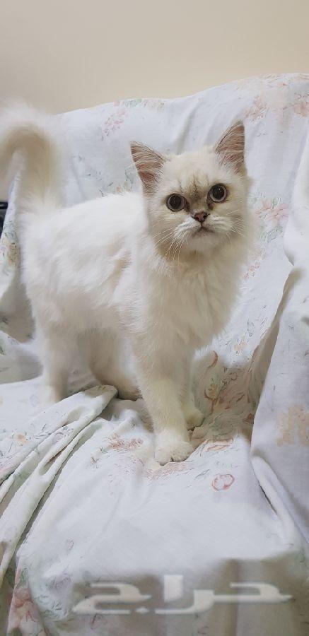 للبيع قطة هملايا