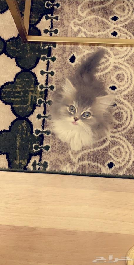 الدمام - قطة انثى شيرازيه