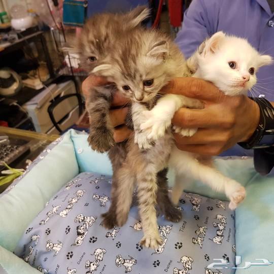 قطط كتن شيرازي للبيع