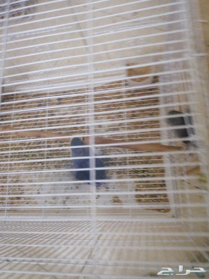 مجموعة طيور  كروان كناري روز دره زيبرا الحب