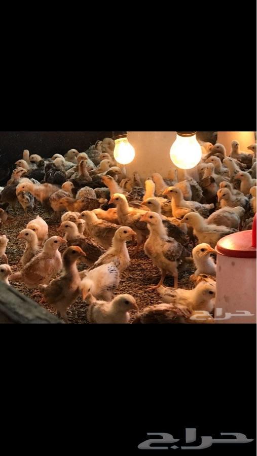 دجاج بلدي فروخ
