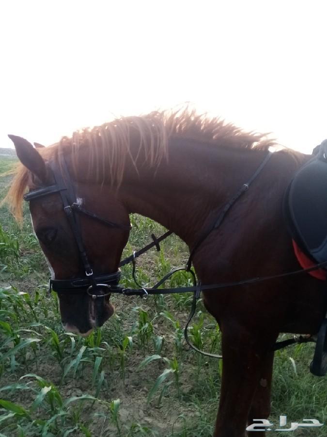 مهر شعبي للبيع او للبدل ب حصان